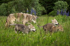Grey Wolf Canis lupus Pups Run Through Field Stock Images