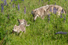 Grey Wolf (Canis lupus) Pups Run with Yearling Behind Stock Photo