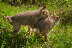 Grey Wolf Canis lupus Pups Wrestling Stock Images