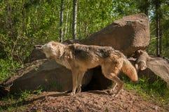 Grey Wolf Canis-Lupus rüttelt weg Stockbilder