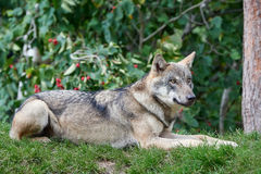 Grey Wolf (Canis lupus) Royalty Free Stock Image