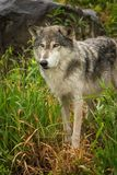 Grey Wolf Canis lupus with Rock in Background Royalty Free Stock Photography