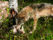 Grey Wolf (Canis lupus) Rolls Pup Stock Photography
