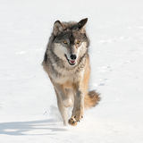 Grey Wolf (Canis lupus) Running Straight at Viewer. Captive animal Stock Photos