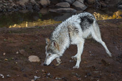 Grey Wolf (Canis lupus) Runs Along Muddy Bank Stock Photography