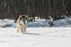 Grey Wolf (Canis lupus) Runs Along Snowy Riverbed Royalty Free Stock Image