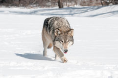 Grey Wolf (Canis lupus) Runs Along Snowy Riverbed with Tongue Ou Stock Image
