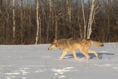 Grey Wolf Canis lupus Runs Left Through Snow Royalty Free Stock Photo
