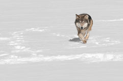 Grey Wolf (Canis lupus) Runs at Viewer Stock Photos
