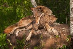 Grey Wolf Canis lupus rymmer valpen Arkivfoto
