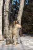Grey Wolf Canis lupus ser höger från träd Arkivbild