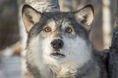 Grey Wolf Canis lupus ser skrämd Royaltyfri Fotografi