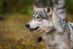 Grey Wolf Canis lupus ser upp och lämnat i Autumn Wood arkivfoto