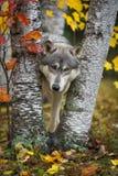 Grey Wolf Canis lupus ser ut från mellan Autumn Leaved Trees royaltyfria foton