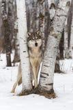 Grey Wolf Canis lupus ser ut från mellan björkträd Arkivbilder