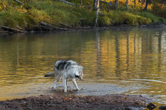 Grey Wolf (Canis lupus) Shakes Off Royalty Free Stock Images