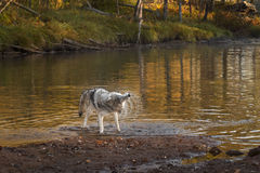 Grey Wolf Canis lupus Shakes Off Stock Images