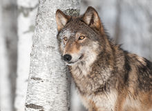 Grey Wolf (Canis lupus) by Single Birch Tree Royalty Free Stock Photo