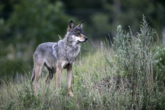 Grey wolf, Canis lupus Stock Photo