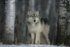Grey wolf, Canis lupus. Single mammal head shot, captive Stock Images