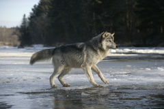 Grey wolf, Canis lupus Royalty Free Stock Photo