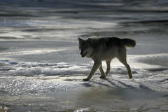 Grey wolf, Canis lupus Royalty Free Stock Image
