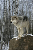 Grey wolf, Canis lupus Stock Photography