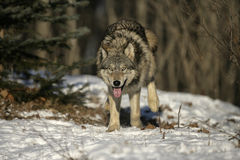 Grey wolf, Canis lupus Royalty Free Stock Photography