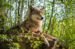 Grey Wolf Canis lupus Sits With Pup Underneath Her. Captive animals Royalty Free Stock Photography