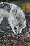 Grey Wolf (Canis lupus) Sniff Turn Royalty Free Stock Photo