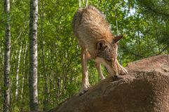 Grey Wolf Canis lupus sniffar på Rock arkivbilder