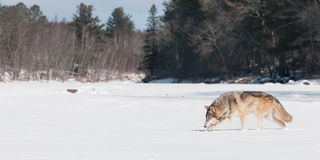 Grey Wolf (Canis lupus) Sniffs Along Riverbed Stock Images