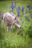 Grey Wolf Canis lupus Sniffs in Field Stock Photos