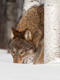 Grey Wolf (Canis lupus) Sniffs in Snow Stock Images