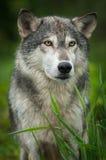 Grey Wolf Canis lupus står bak gräs Royaltyfri Foto
