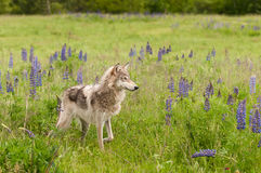 Grey Wolf Canis lupus står i fältet Paw Up Royaltyfri Bild