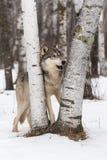 Grey Wolf Canis lupus står mellan björkträd Royaltyfria Foton