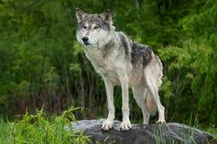 Grey Wolf Canis lupus står på Rock Royaltyfria Foton
