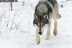 Grey Wolf Canis lupus Stalks Forward Close. Captive animal Stock Photography