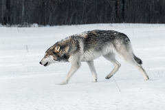 Grey Wolf Canis lupus Stalks Left Stock Photos