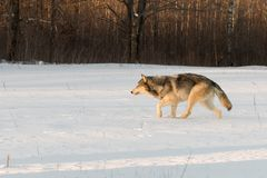 Grey Wolf Canis lupus Stalks Left Through Snowy Field. Captive animal royalty free stock image