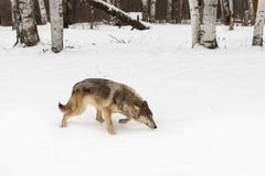 Grey Wolf Canis lupus Stalks Right Past Trees Stock Images