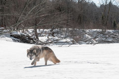 Grey Wolf (Canis lupus) Stalks Viewer on Riverbed Stock Images