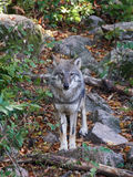Grey wolf Canis lupus Stock Image