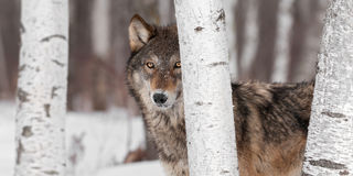 Grey Wolf (Canis lupus) Stands Amongst Trees Royalty Free Stock Photography