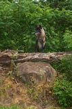 Grey Wolf (Canis lupus) Stands Atop Log Stock Image
