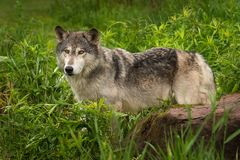 Grey Wolf Canis lupus Stands Behind Rock Royalty Free Stock Photos
