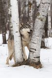 Grey Wolf Canis lupus Stands Between Birch Trees Royalty Free Stock Photos