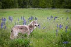 Grey Wolf Canis lupus Stands in Field Stock Photo