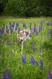 Grey Wolf Canis lupus Stands in Field of Lupine Royalty Free Stock Image